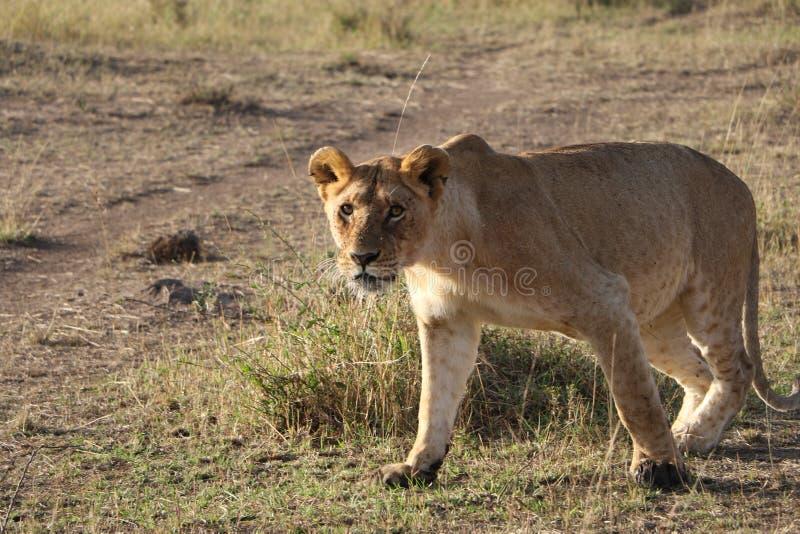 Den kvinnliga lejoninnan går i den lösa maasaien mara royaltyfria bilder