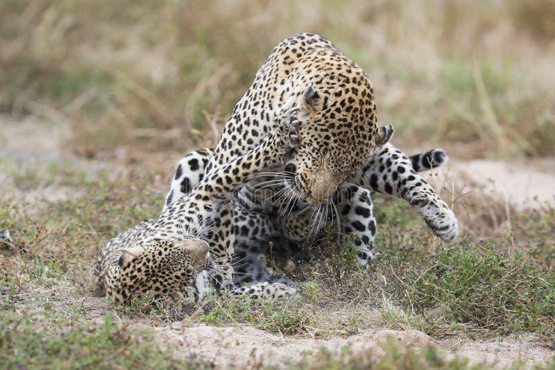 Den kvinnliga leoparden smäller mannen, medan para ihop på gräs i natur royaltyfria bilder