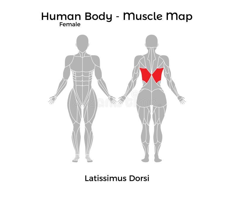Den kvinnliga människokroppen - tränga sig in översikten, den Latissimus dorsien stock illustrationer