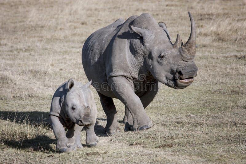Den kvinnliga noshörningen och hon behandla som ett barn spring på den afrikanska savannahen en fotograf royaltyfri foto