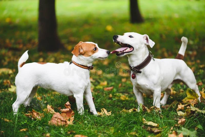 Den kvinnliga och manliga terrierhundkapplöpningen som går på nedgången (höst) parkerar arkivfoton