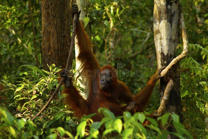 Den kvinnliga orangutanget med hennes behandla som ett barn arkivfoton