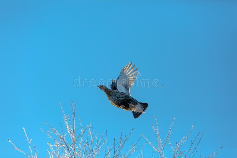 Den kvinnliga orren flyger upp i vinter från ett träd som täckas med rimfrost mot en ljus blå himmel royaltyfri fotografi