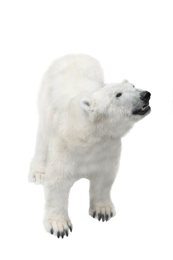 Den kvinnliga polara vita björnen går isolerat arkivbild