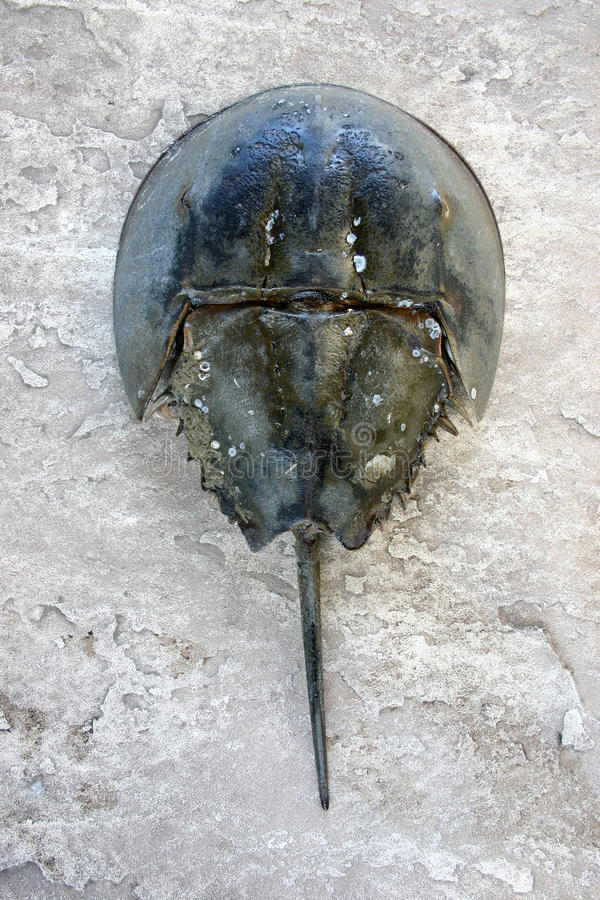 Den kvinnliga polyphemusen för Limulus för hästskokrabba royaltyfri foto