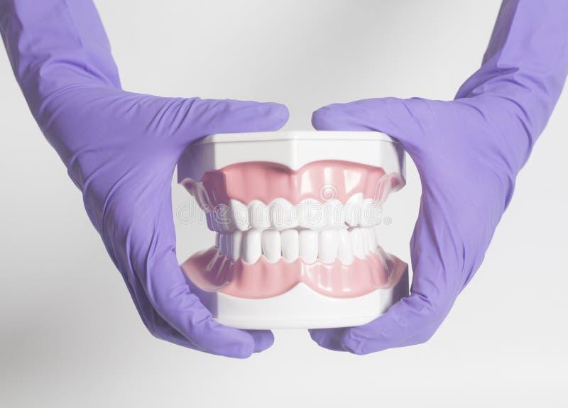 Den kvinnliga tandläkarehanden i medicinska purpurfärgade handskar som rymmer tänder, modellerar royaltyfri fotografi