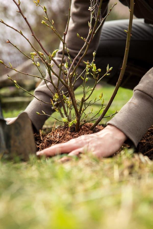 Den kvinnliga trädgårdsmästaren planterar en buske, landskap och ett trädgårds- arbete royaltyfri foto