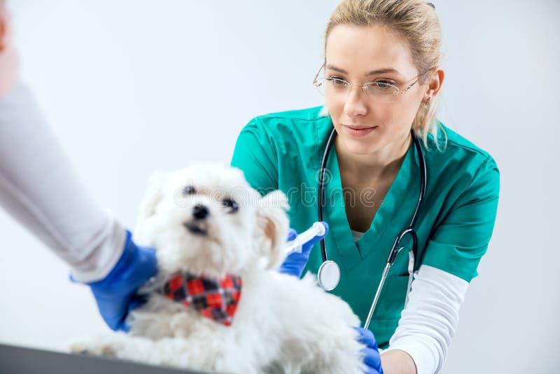 Den kvinnliga veterinären gör en injektion fotografering för bildbyråer