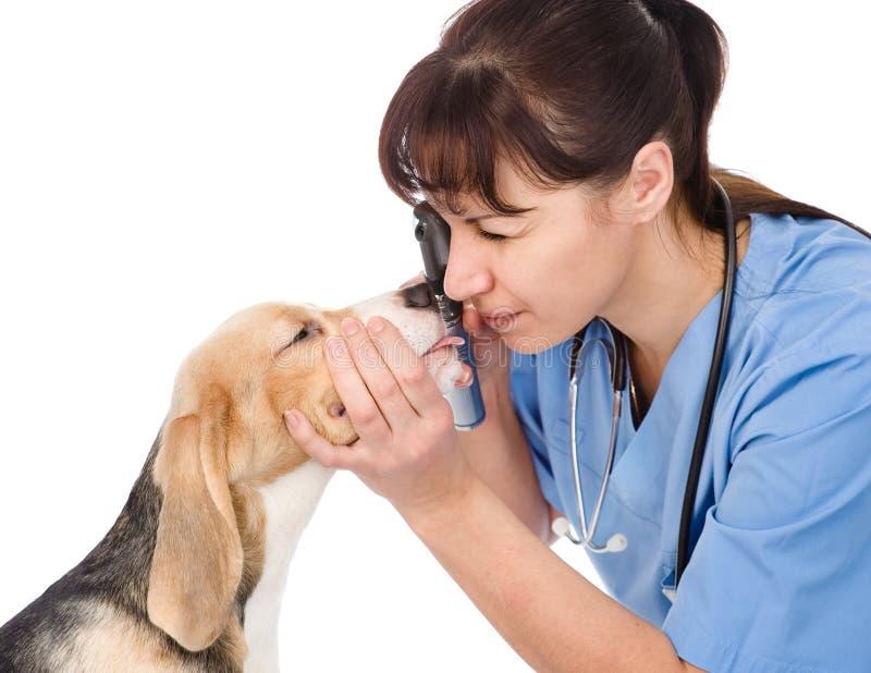 Den kvinnliga yrkesmässiga veterinärdoktorn som undersöker den älsklings- hunden, synar isolerat royaltyfria foton