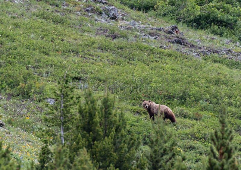 Den långa grisslybjörnen ser tillbaka royaltyfri fotografi