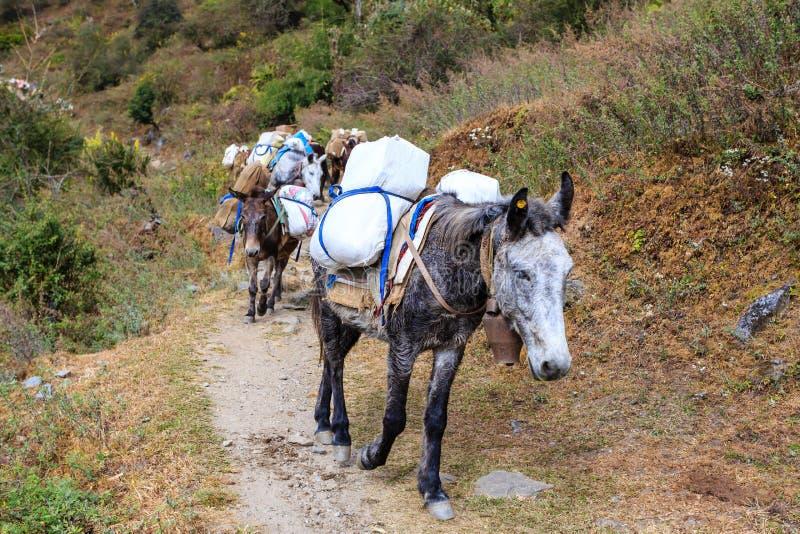 Den l?nga husvagnen av tr?tta laden mulor f?ljer den Himalayan banan Nepal Himalaya royaltyfri fotografi