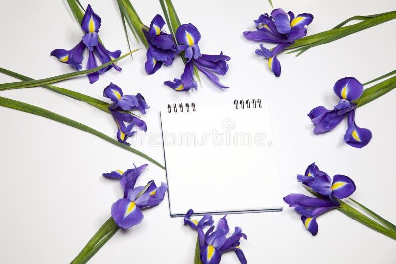 Den lökformiga irins för Violet Irises xiphium, irissibirica på vit bakgrund med utrymme för text Bästa sikt, lekmanna- lägenhet royaltyfria bilder