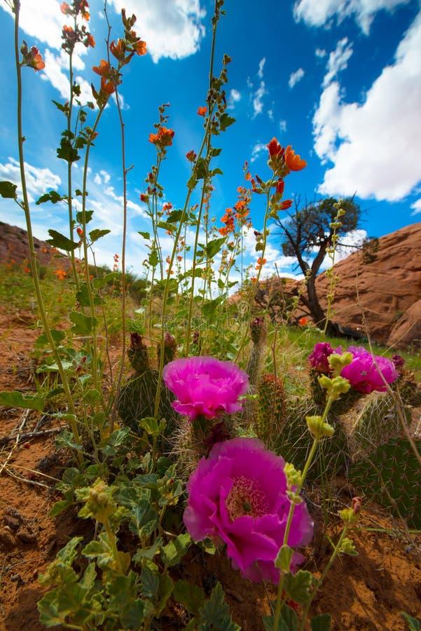Den lösa öknen blommar sammansättning för lodlinjen för det blomningUtah landskapet arkivbilder