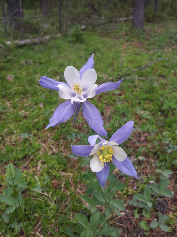 Den lösa aklejan blommar att blomma royaltyfri fotografi