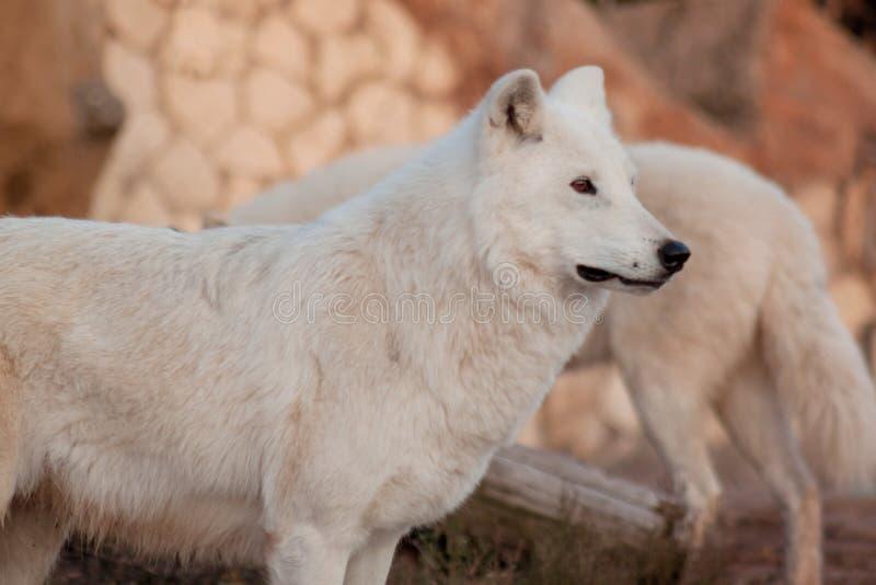 Den lösa alaskabo tundravargen ser hans rov Arctos för Canislupus Polar varg eller vit varg arkivfoton