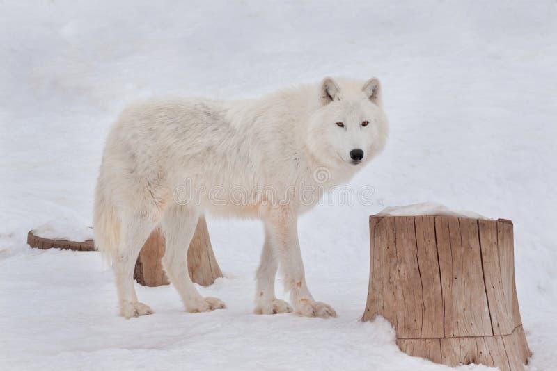 Den lösa alaskabo tundravargen ser kameran Arctos för Canislupus Polar varg eller vit varg arkivfoton