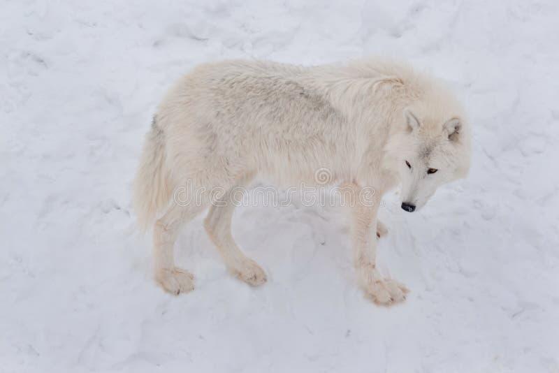 Den lösa alaskabo tundravargen står på en vit snö Arctos för Canislupus Polar varg eller vit varg arkivfoton