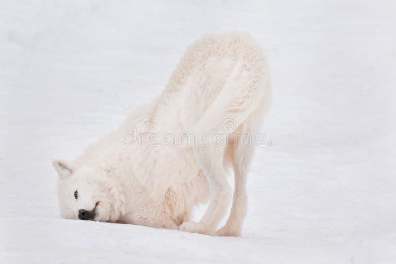 Den lösa alaskabo tundravargen vältra sig i den vita snön Arctos för Canislupus royaltyfri fotografi