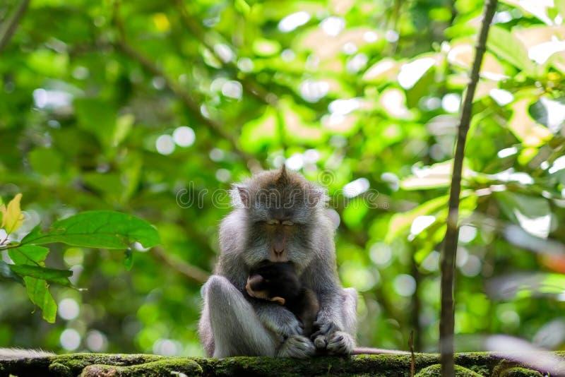 Den lösa apan som sover rymma hennes litet, behandla som ett barn i armar fotografering för bildbyråer