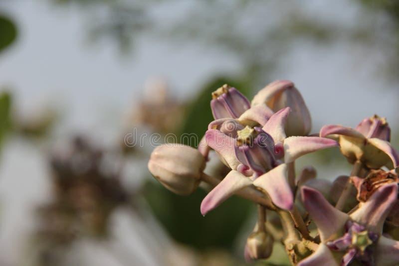 Den lösa blomman grundar i de tropiska skogarna i maharashtraen Indien arkivbild