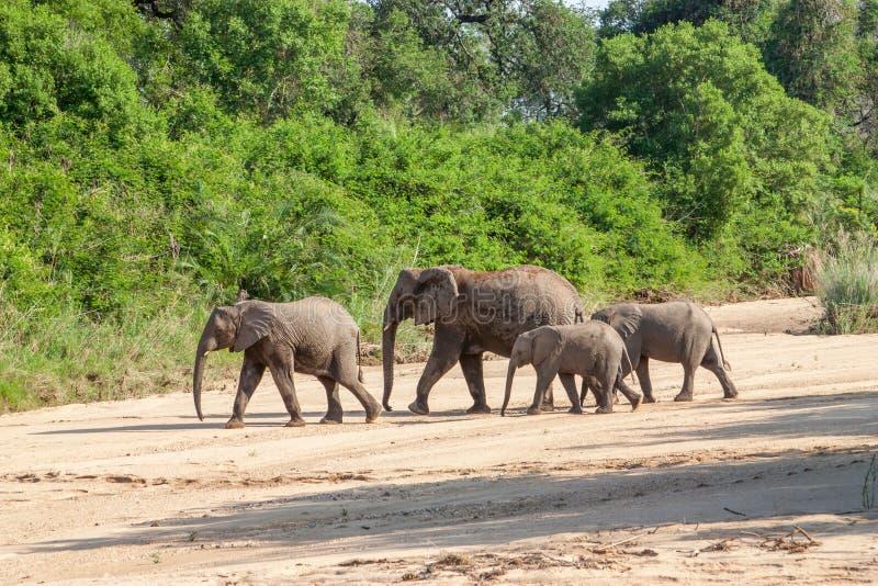 Den lösa flocken av elefanter kommer att dricka i Afrika i medborgare som Kruger parkerar i UAR royaltyfri bild