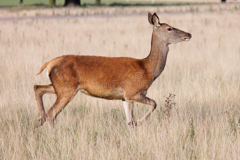 Den lösa fullvuxna hankronhjorten för röda hjortar i buskigt parkerar arkivbilder