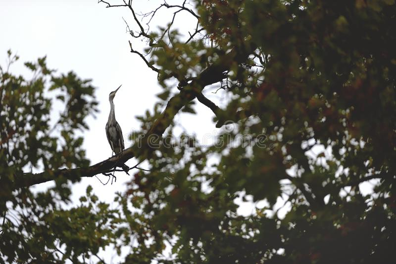 Den lösa Grey Heron Sitting på filialhöjdpunkt på trädet arkivbilder
