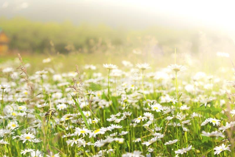 Den lösa kamomillen blommar på ett fält på en solig dag grunt djupfält royaltyfri foto