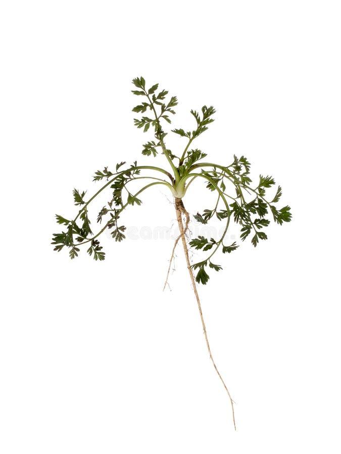Den lösa moroten, Daucuscarota, arbeta i trädgården ogräset Den hela växten med långt rotar isolerat på vit Trädgårdsnäringproble arkivfoto