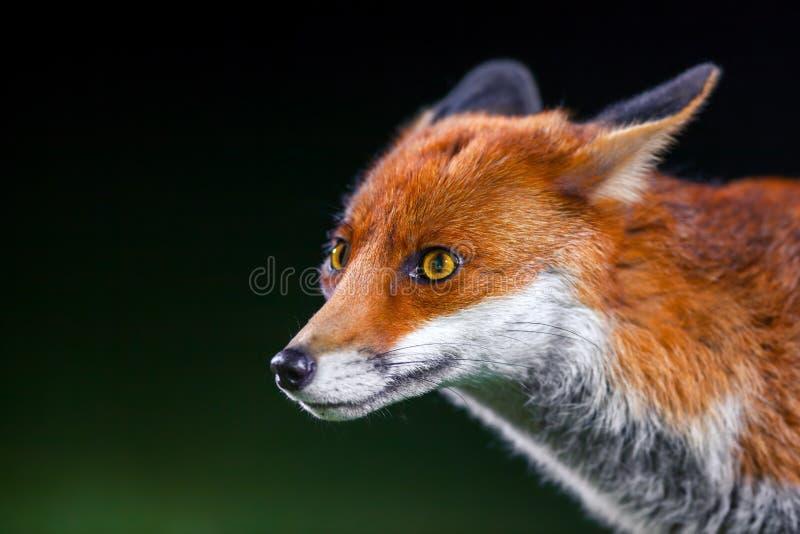 Den lösa räven i London parkerar - fotoet som tas i den djupa natten med 2 yttre exponeringar som huvudsaklig källa av ljus royaltyfria bilder