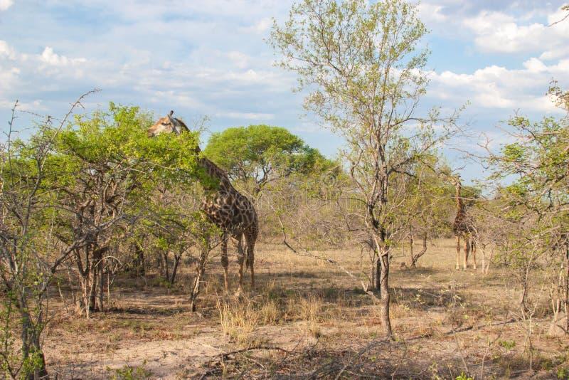 Den lösa Reticulated giraffet och det afrikanska landskapet i medborgaren Kruger parkerar i UAR arkivbild
