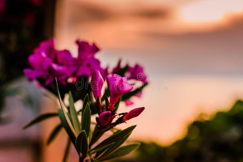 Den lösa rosa färgen blommar på solnedgången arkivfoto