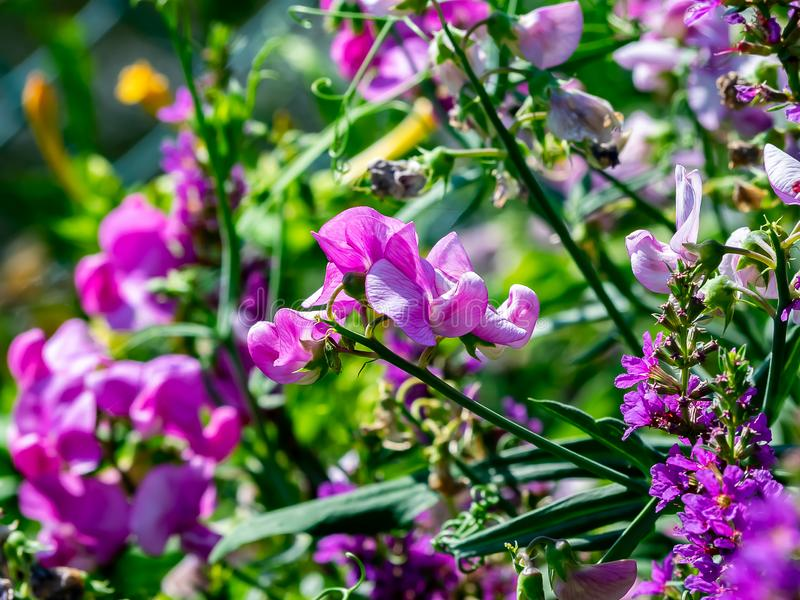 Den lösa söta ärtan blommar längs floden 2 arkivbilder