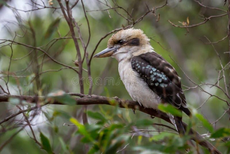 Den lösa skratta skrattfågeln, historiska skogsmarker parkerar, Victoria, Australien, September 2016 royaltyfria foton