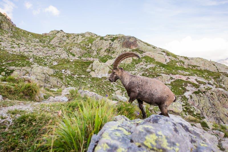 Den lösa stenbocken vaggar klättring framme av den Iconic Mont Blanc bergnollan royaltyfri bild