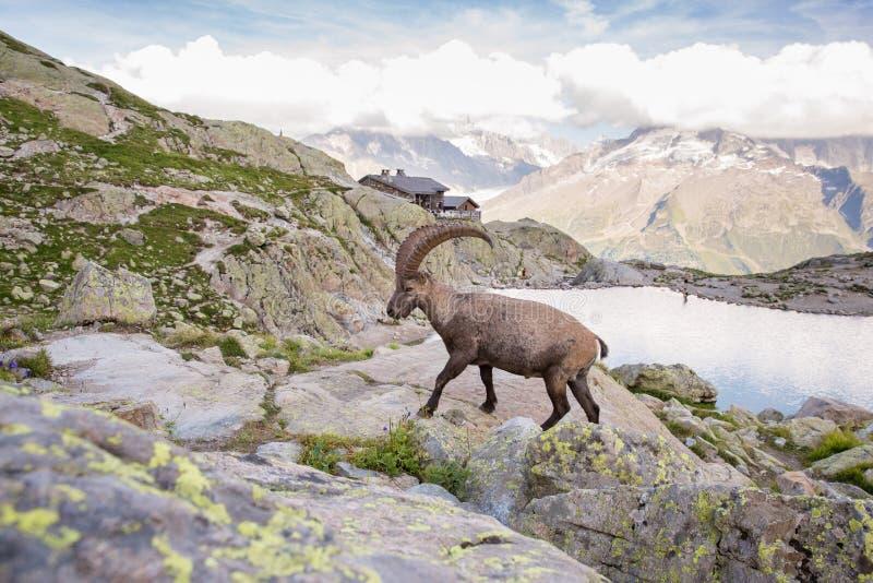 Den lösa stenbocken vaggar klättring framme av den Iconic Mont Blanc bergnollan royaltyfri foto