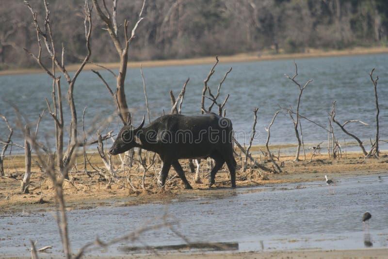 Den lösa tjuren I djungel royaltyfri fotografi