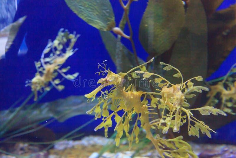 Den lövrika seadragonen, Phycodurus eques royaltyfri foto