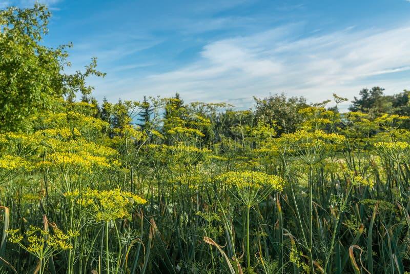 Den lantliga sommaren landskap En gräsmatta med en grönsakträdgård nära ett landshus stjälk av dill i förgrunden royaltyfri fotografi