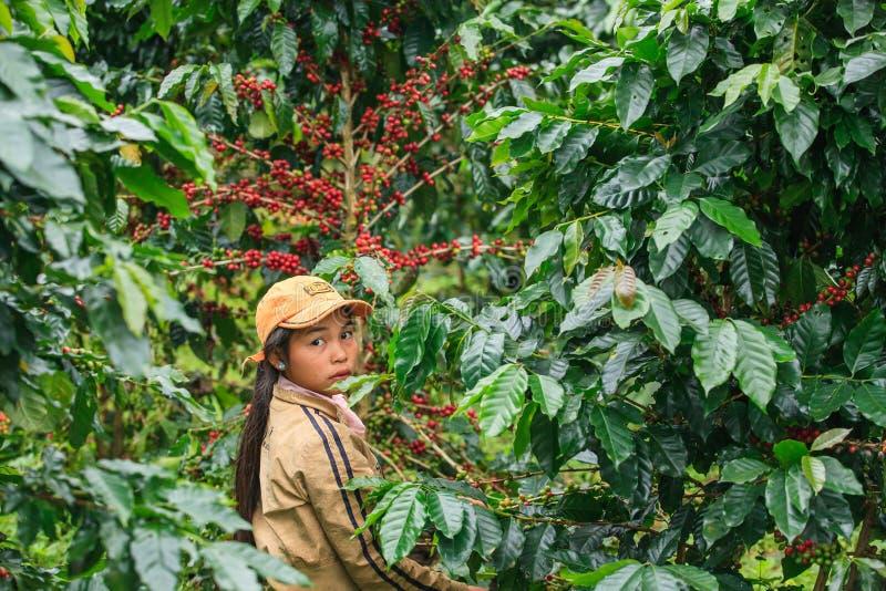 Den Laos flickan skördar kaffebär på den Bolaven platån arkivbild