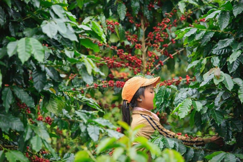 Den Laos flickan skördar kaffebär på den Bolaven platån royaltyfria foton