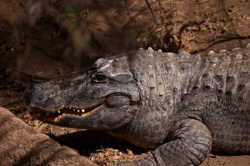 Den le krokodilen royaltyfri foto
