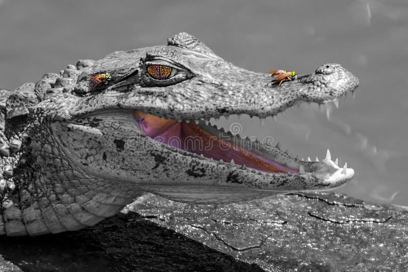 Den le krokodilen och flugorna royaltyfri bild