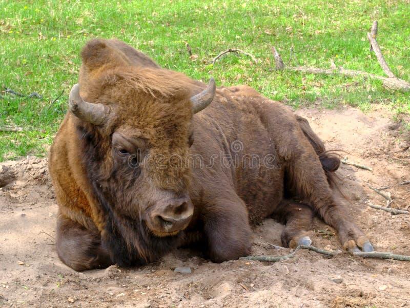 Den ledsna bisonen ligger på sanden arkivbild