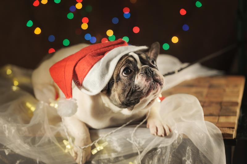 Den ledsna franska bulldoggen i den santa hatten på girlanden tänder bakgrund royaltyfri bild