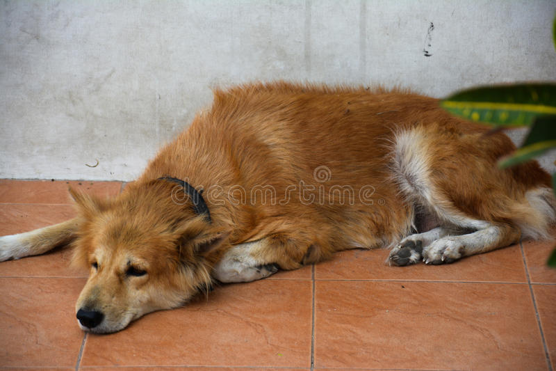 Den ledsna hunden som ner ligger royaltyfria bilder