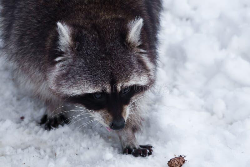 Den ledsna pälsframsidan av en tvättbjörn med blåtirapärla-slut-upp, tafsar på snön, ett fluffigt i vintern arkivfoton