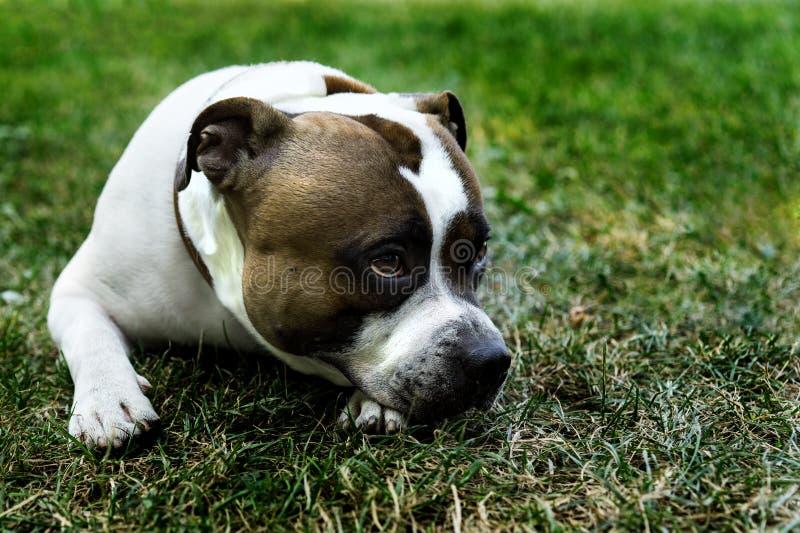 Den ledsna Staffordshire bull terrier hunden ligger på det gröna gräset royaltyfri bild