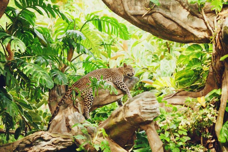 Den liggande (sova) leoparden på tree förgrena sig royaltyfria foton