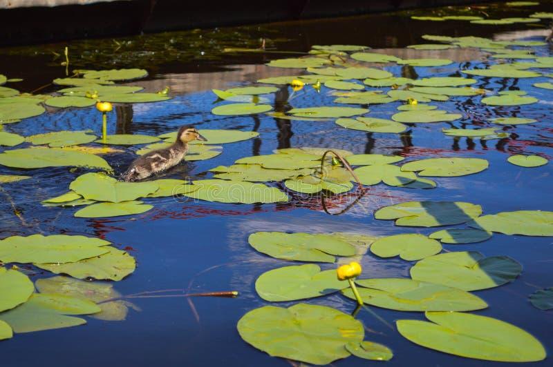 Den lilla ankungen som kura ihop sig bad som kör längs vattnet längs gröna härliga näckrors med gröna sidor på bankerna arkivfoto
